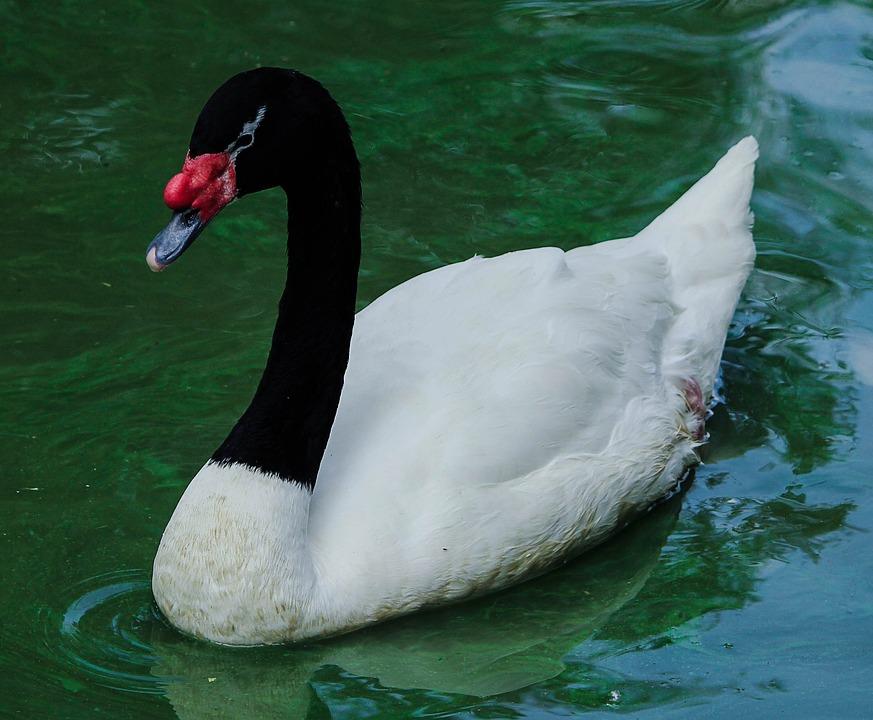 swan-448359_960_720